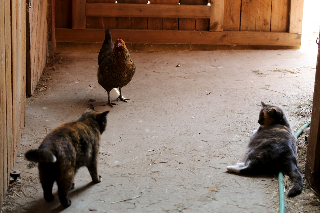 First Encounter- New Hen and Barn Cats - Bedlam Farm