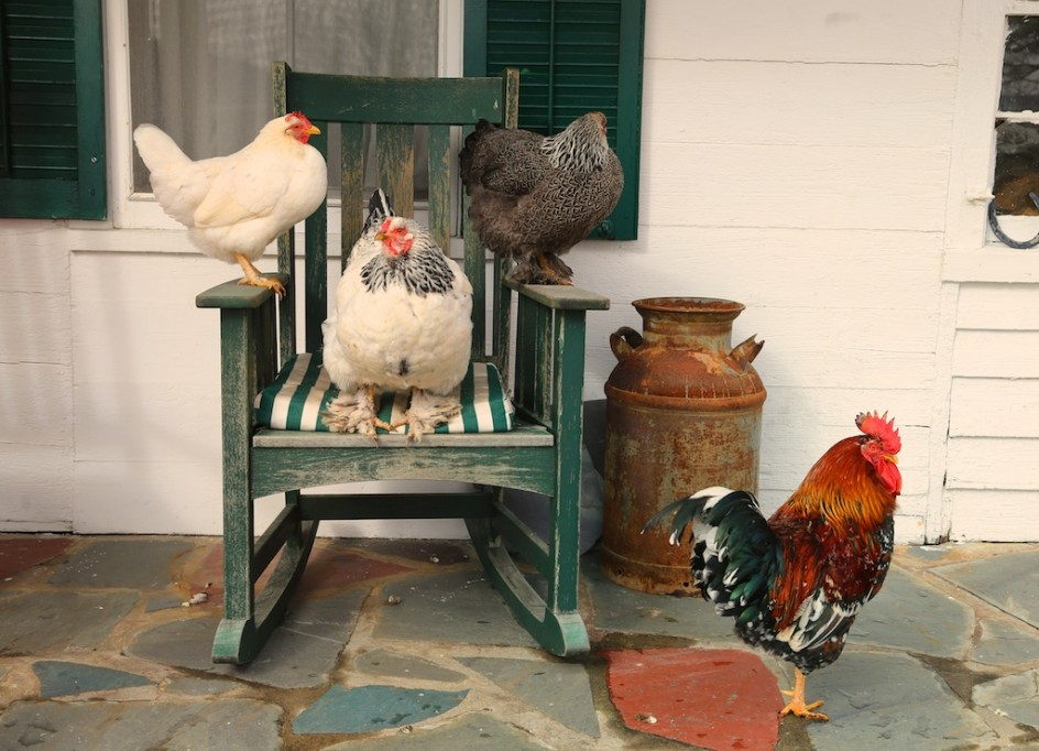 Chickens On The Chair