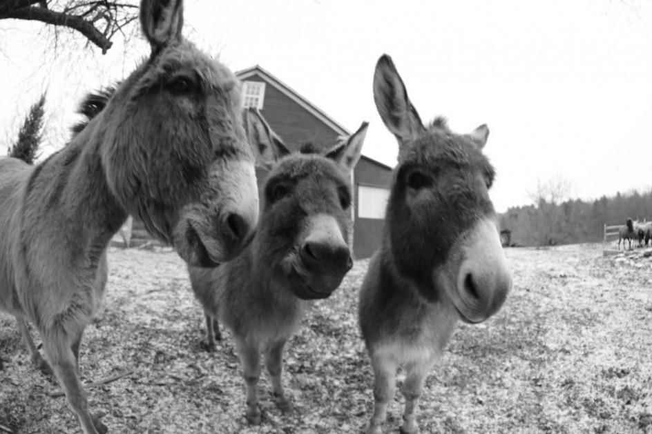 If Donkeys Talked