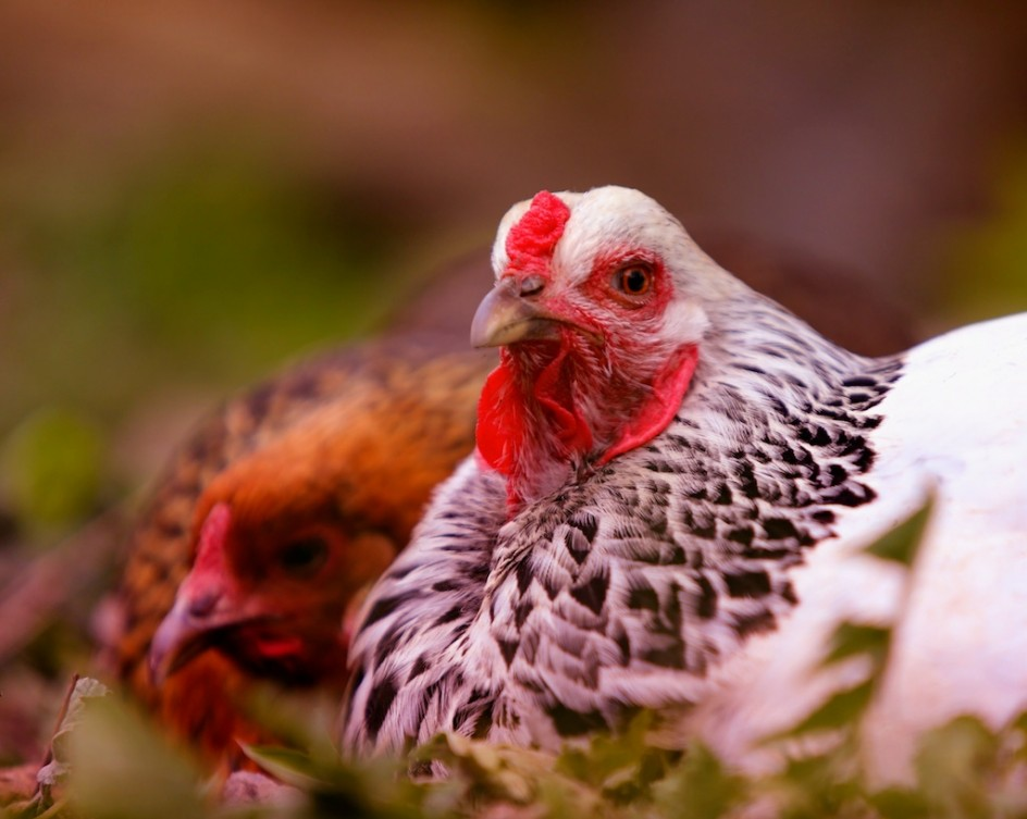 Chicken Lovers