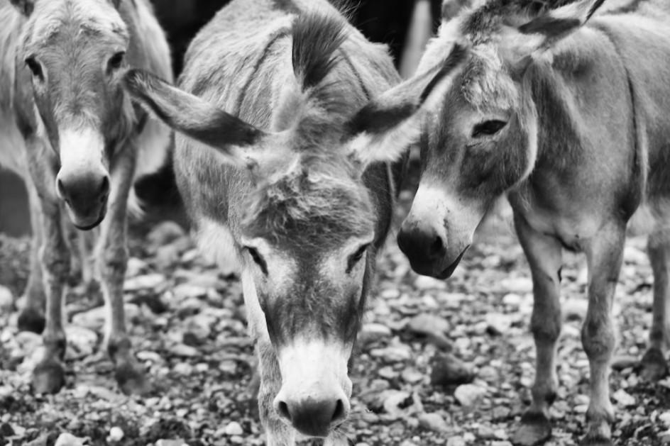 Pack Of Donkeys