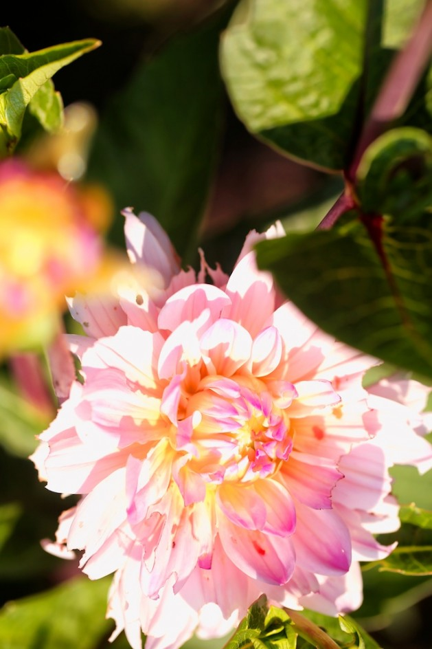 Pink Dahlia, Morning Sun1