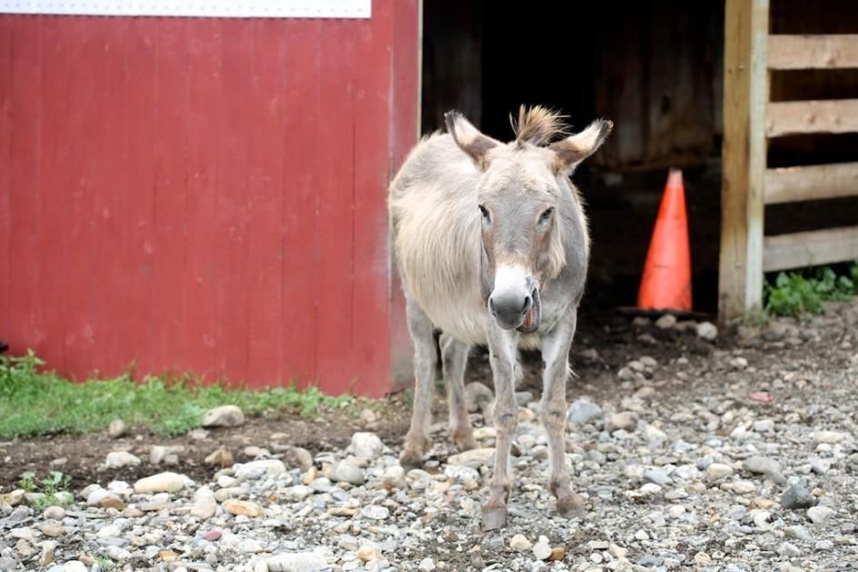 The Junkyard Donkey