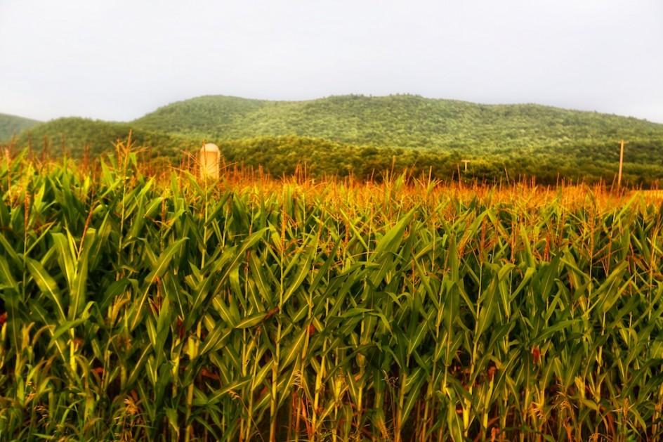 hazy dusk cornfield bedlam farm journal bedlam farm journal