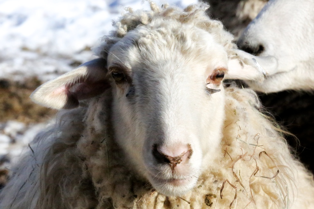 Цветок, прикольные картинки коз и овец