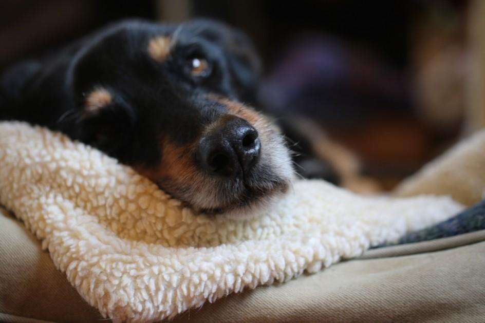 Divine Old Dog: Smells A Rabbit