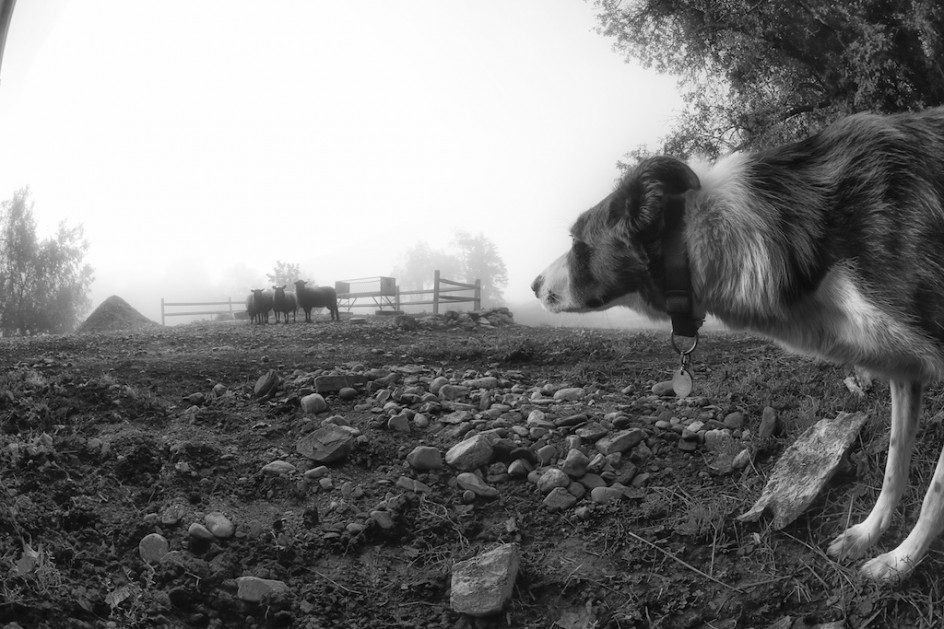 Border Collie And Horse