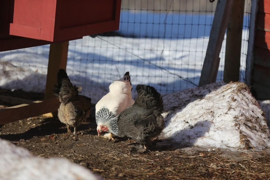 Chicken Liberation