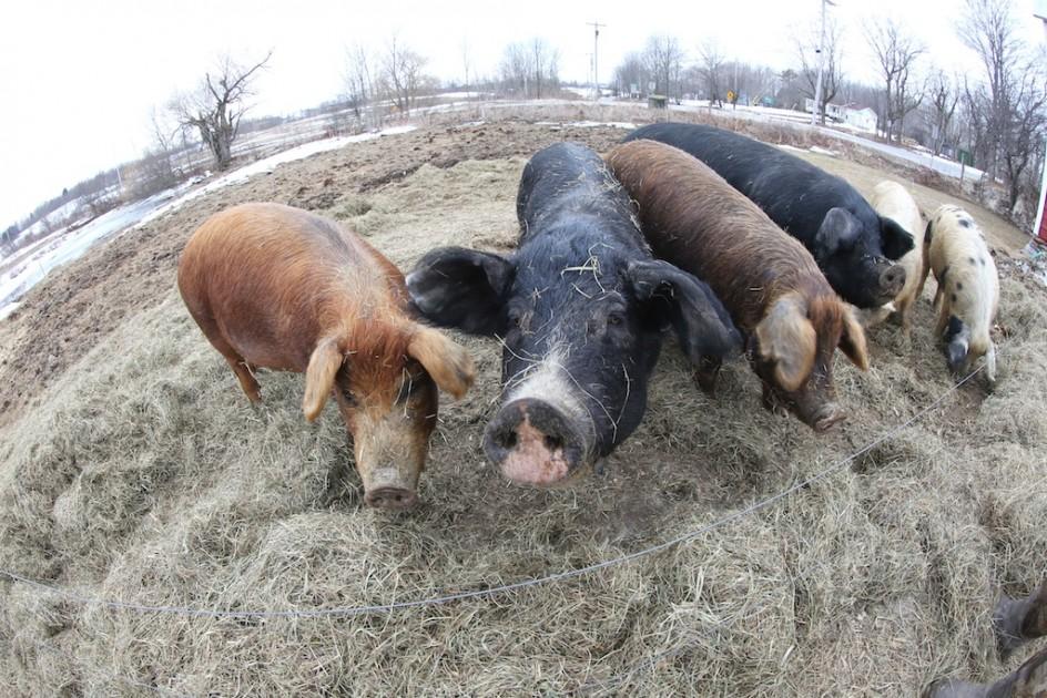 Joshua's Famous Pigs