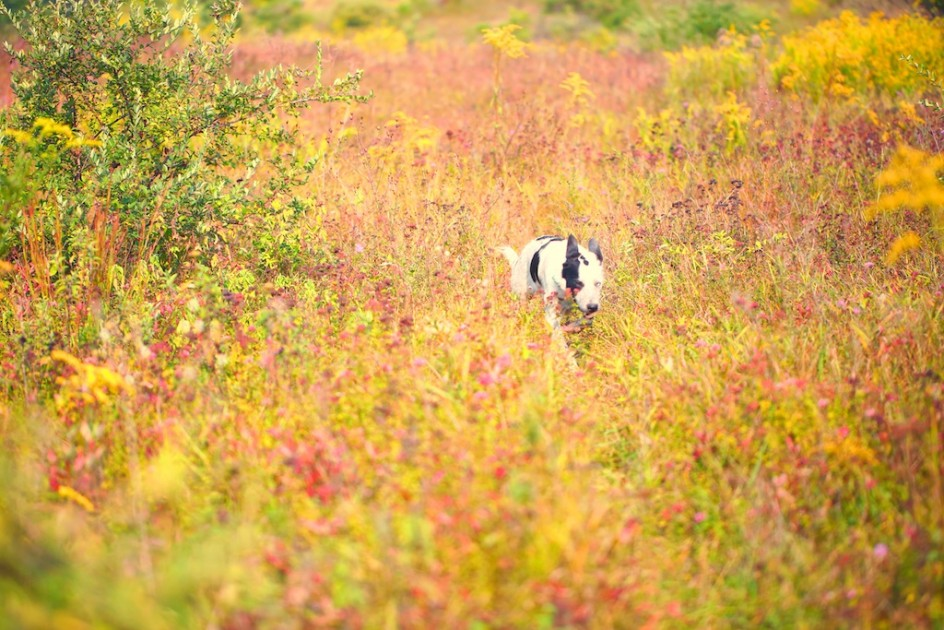 Meadow Dog In August