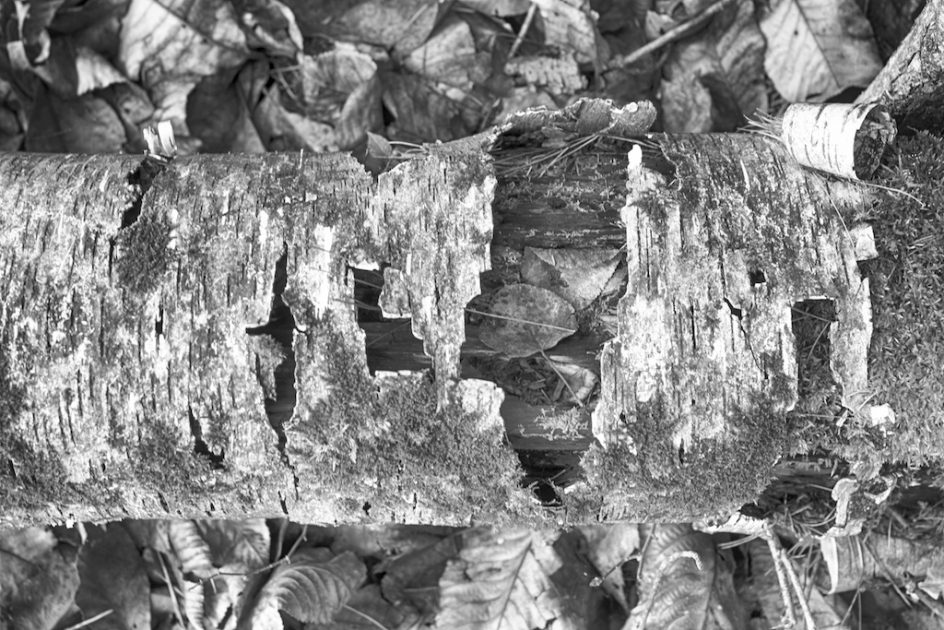 Portrait - Birch Bark