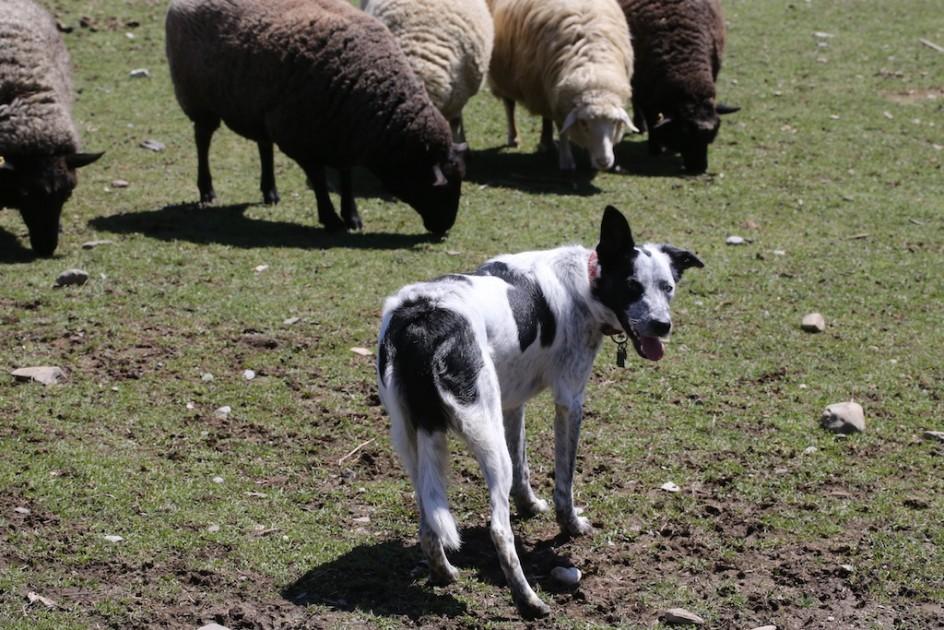 The Happy Herder