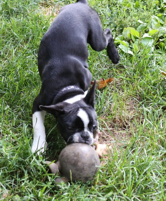 Dog Ate Squeaker Out Of Toy