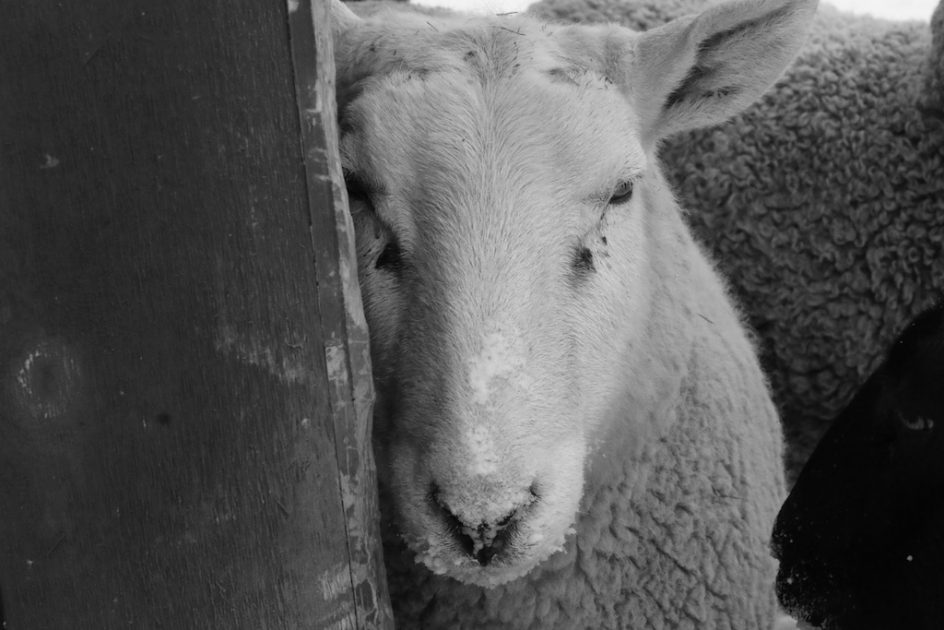Bedlam Farm Journal Bedlam Farm Journal - 16 animals way chilled even care right now