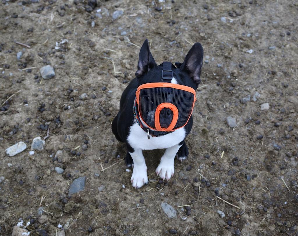 Gus And His Muzzle: A Farm Dog Again? - Bedlam Farm Journal Bedlam ...