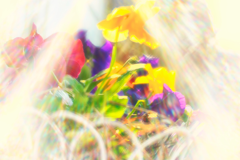 Humble Pansies Greet The Morning Sun Bedlam Farm Journal Bedlam